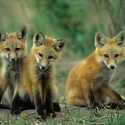 Red Fox, (Vulpus fulva) Trio of pups together near den. Spring.