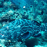 Black Grouper inhabit reefs in Tropical West Atlantic; picture taken Belize.