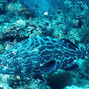 Black Grouper inhabit reefs in Tropical West Atlantic; picture taken Belize.