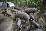 Pigs feeding at the Stone Barns Center for Food and Agriculture near the Blue Hill restaurant at Pocantico Hills, New York State.