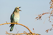 European roller (Coracias garrulus) on a branch. This migrant bird is the only roller bird family member to breed in Europe. It is also found in the Middle East, Central Asia and Morocco, and winters in southern Africa. It often perches conspicuously in the tops of trees, where it can spot prey such as insects and lizards, although it is known to take small birds, frogs and mammals. Photographed in Israel in September