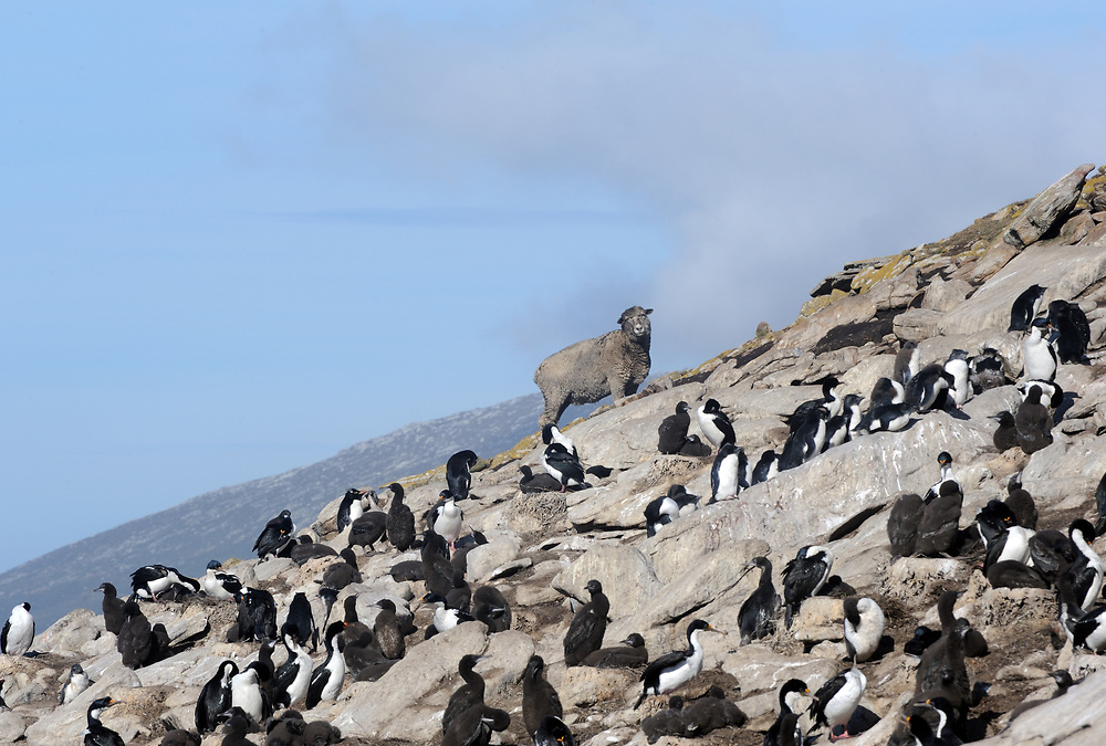 A sheep looks over a nesting colony of  Imperial Shag (Phalacrocorax atriceps) known locally as black shag or blue eyed cormorant. Saunders Island, Falkland Islands. 15Feb16