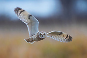 A short-eared owl (Asio flammeus) flies low over a field on Leque Island near Stanwood, Washington. The short-eared owl is found over much of North America. It hunts over open fields and grasslands, diving to catch small mammals and birds.