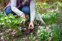 Planting summer bulbs (lilies) in a border