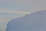 Adele penguin walks on an iceberg in the Weddell Sea, Antarctica, on February 5, 2020.
