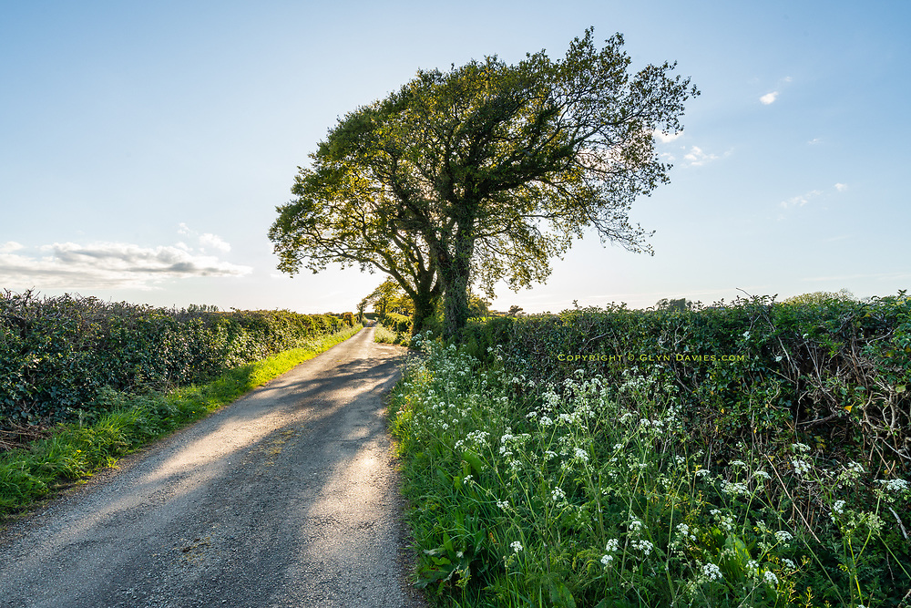 """""""Stop, Look, Listen"""" Anglesey lane<br /><br />Such silence! No vapour trails, no cars, no other walkers! Just the sound of a blackbird, a wren, a robin and the bleating of new lambs. It IS surreal, this human silence. I hear more nature now and I'm exploring the countryside more than in years, but the complete lack of human sounds is also strangely disturbing at present, for we know WHY.<br /><br />A unseen, unpredictable killer disease is on the rampage and it can kill any of us at any time. This is the silence of fear; it's like one of those post-apocalyptic road movies, where things seem visually normal, even beautiful, any yet there is a darkness in the unknown, in the waiting and in our solitude - a solitude I usually desperately need!"""