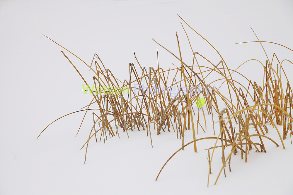 Reeds Between the White