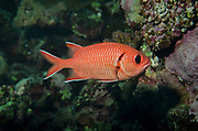 Blotcheye soldierfish, Myripristis berndti, Red Sea, Marsa Alam, Egypt