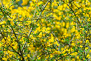 Calicotome villosa, also known as hairy thorny broom and spiny broom, is a small shrubby tree native to the eastern Mediterranean region. Photographed in Israel in January