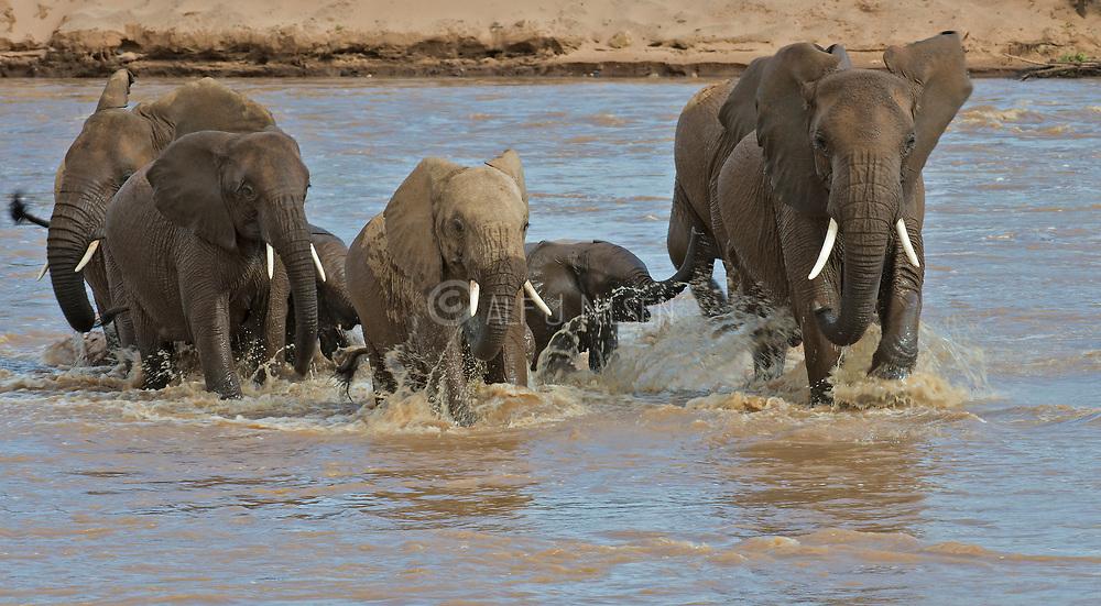 African elephants crossing the river Ewaso Ng'iro in Samburu National Reserve, Kenya.