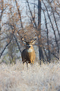 A mature whitetail buck pauses in a frosty field during the autumn rut