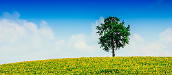 Lone tree in a field of sunflowers in the Cotes de Duras, Lot et Garonne, Aquitaine, France<br /> <br /> (c) Andrew Wilson | Edinburgh Elite media