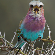 Lilac-breasted Roller (Coracias caudatu) in Africa.