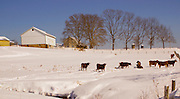 Snow, cattle and farm landscape, Cumru Township, Berks Co., PA