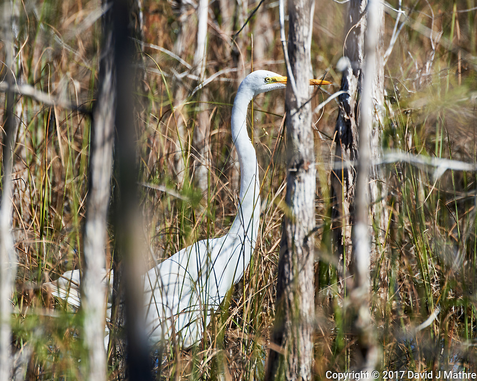 Great Egret (Ardea alba). Loop Road. Big Cypress National Monument. Image taken with a Nikon D4 camera and 80-400 mm VRII lens.
