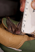 Biologist Leigh Stuemke collecting statitistics on a temporarily captive Rafinesque's Big-eared Bat (Corynorhinus rafinesquii), Big Thicket National Preserve, Texas.