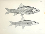 Barbus canis and Barbus longiceps fish From the survey of western Palestine. The fauna and flora of Palestine by Tristram, H. B. (Henry Baker), 1822-1906 Published by The Committee of the Palestine Exploration Fund, London, 1884