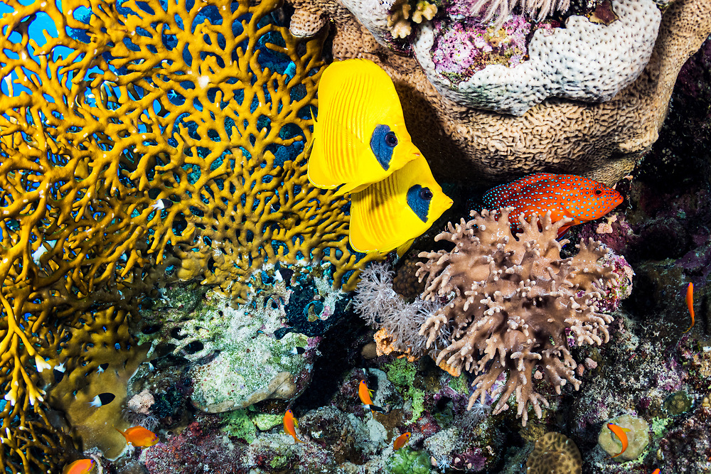 A small coral reef scene including a pair of masked butterflyfish (Chaetodon semilarvatus) and a coral hind (Cephalopholis miniata) in the Red Sea off Marsa Alam, Egypt