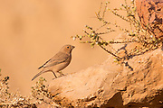 Sinai Rosefinch (Carpodacus synoicus) female on the ground, negev desert, israel in November