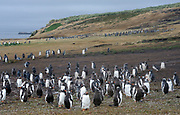 Moulting adult and young   Long-tailed Gentoo penguins  (Pygoscelis papua) and  Megellanic Penguins (Spheniscus magellanicus)   at their nesting colony on Carcass Island, Falkland Islands. 15Feb16