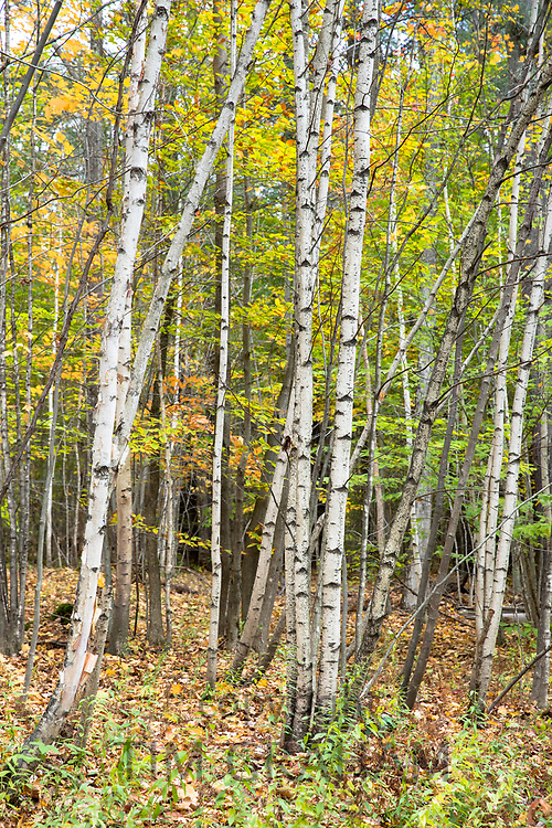 The Fall foliage colours of Aspens and Birches near Woodstock in Vermont, New England, USA