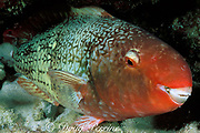 redlip parrotfish or uhu ele'ele, Scarus rubroviolaceous, <br /> initial phase, asleep at night<br /> Kona, Hawaii, USA ( Pacific )