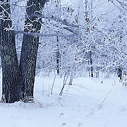 Minnesota, Hoarfrost clings to forest in northern Minnesota winter.