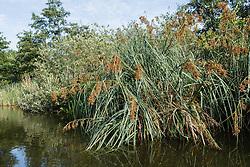 Galigaan, Cladium mariscus