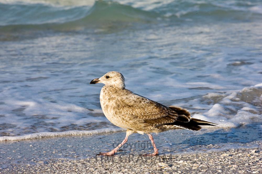 Juvenile Lesser Black-Backed Gull in Gulf of Mexico, Anna Maria Island, Florida, USA