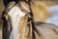 Looking into the eyes of a horse as it grazes the sparse fields on a cold Winter day.