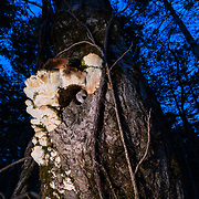 This is a Japanese dwarf flying squirrel (Pteromys volans orii) peeking out from its nest in the trunk of a tree. Checking the surroundings in this manner prior to emerging at dusk for a night of foraging is common behaviour. Found only in Hokkaido, Japan, these animals prefer small holes to their nests, as this provides a measure of protection from predators like owls and martens. This particular nest entrance is also partially covered by a large white fungus, which obscures it from view. This animal is a sub-species of Siberian flying squirrel and is known locally as ezo-momonga.
