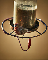 One-eyed House Finch. Image taken with a Nikon D5 camera and 600 mm f/4 VR lens (ISO 400, 600 mm, f/4, 1/1250 sec)