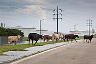 August 30th 2012, Plaquemines Parish Louisiana, Cows on Highway 23 just before the road is impassible by flood waters from Hurricane Isaac in front of the Conoco Phillips refinery . Highway 23 is the only road that runs to the end of the parish.