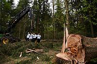 30.05.2017 Puszcza Bialowieska Aktywisci z Greenpeace i Fundacji Dzika Polska zablokowali wycinke drzew w nadl. Browsk przy uzyciu harvestera - ciezkiej i wydajnej maszyny mogacej wyciac w ciagu dnia setki drzew . Ciezkie maszyny do wyrebu i zaladunku drzew zostaly otoczone przez aktywistow . Osiem osob przypielo sie do harvestera . Miejsce protestu jest obszrem legowym dzieciola trojpalczastego i soweczki fot Michal Kosc / AGENCJA WSCHOD