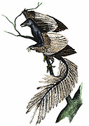Archaeopteryx - The First Bird.  Artist's reconstruction of archaeopteryx which made its appearance about 170 million years ago, based on fossil records.  Print published 1886.  Hand-coloured engraving