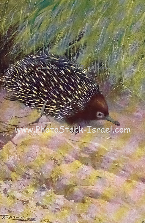 short-beaked echidna (Tachyglossus aculeatus) is one of four living species of echidna and the only member of the genus Tachyglossus. It is covered in fur and spines and has a distinctive snout and a specialized tongue, which it uses to catch its insect prey at a great speed. Like the other extant monotremes, the short-beaked echidna lays eggs; the monotremes are the only living group of mammals to do so. from the book '  Animal portraiture ' by Richard Lydekker, and illustrated by Wilhelm Kuhnert, Published in London by Frederick Warne & Co. in 1912