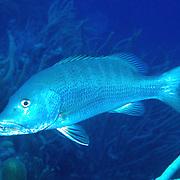 Cubera Snapper inhabit deep reefs, usually below 60 feet, in Tropical West Atlantic; picture taken Grand Cayman.