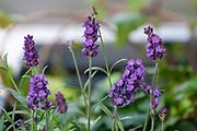 flowering Purple flowers