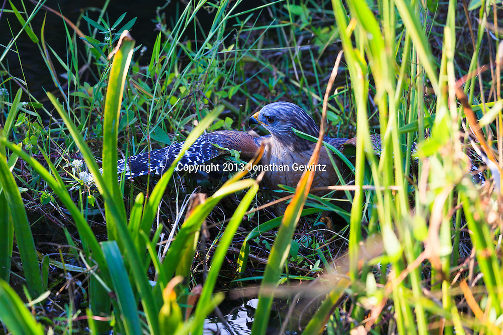 A Red-shouldered Hawk (Buteo lineatus) catching a snake in an Everglades canal. WATERMARKS WILL NOT APPEAR ON PRINTS OR LICENSED IMAGES.
