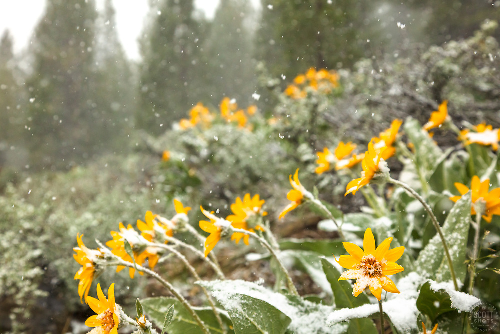 """""""Snowy Wildflowers 1"""" - Photograph of yellow Arrowleaf Balsamroot wildflowers shot during a spring snowstorm."""