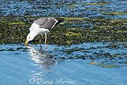 western gull, Larus occidentalis, drinking or feeding in tidal estuary, Elkhorn Slough, Moss Landing, California, United States