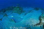 leopard ray, coachwhip ray, or honeycomb stingray, Himantura uarnak, ( loggerhead turtle and shovelnose guitarfish in back ), Manta Bommie, N. Stradbroke Island, near Brisbane, Queensland, Australia ( Pacific )