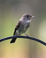 Eastern Wood-Pewee. Image taken with a Fuji X-T4 camera and 100-400 mm OIS lens.