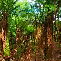 Tree fern Kells, County Kerry, Ireland