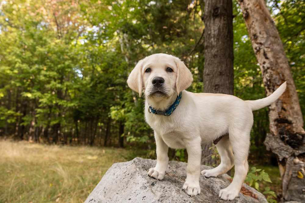 Yellow lab puppy standing on a rock