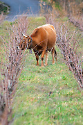 Vineyard with cows, cattle, bulls near Lentheric, below Ch des Estanilles. Faugeres. Languedoc. France. Europe.