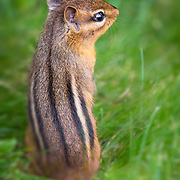 Rear profile view shows striped coat of chipmunk standing on back legs in grass.