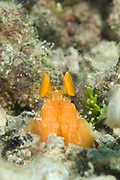 Orange Mantis Shrimp: Lysiosquilloides mapia peering from a burrow, Solomon Islands. This is a spearing species of Mantis Shrimp.