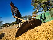 Rice Harvest in Nakhon Nayok