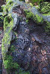 Forest floor detail, here a redwood slowly rots into the earth hosting an environment for moss, ferns and fungi. Oh, and texture study for photographers.